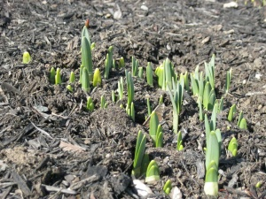 New shoots rising out of the ground