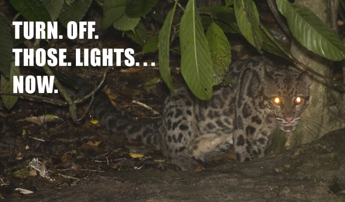 800px-Borneo_clouded_leopard capped