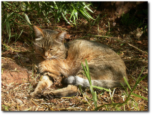 Felis sylvestris, an ancestor of the domestic cat.  (Wikipedia)