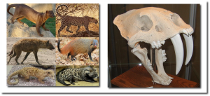 Hint:  Of all these feliforms, only the leopard and that toothy fellow on the right are felids.  (Click to enlarge)