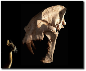 Felix is glad Smilodon went extinct some 13,000 years ago.  (Wikipedia)