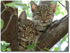 Texas bobcat kittens in 2012.  (Image by Summer M. Tribble)