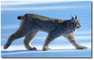 Of course the Canada lynx subsists predominantly on snowshoe hares.  (Image:  Keith Williams)