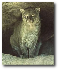 """Jaguarundi, a feline in the genus Puma, says, """"If I hear any more about taxonomy, I swear I'm going for your throat!"""""""