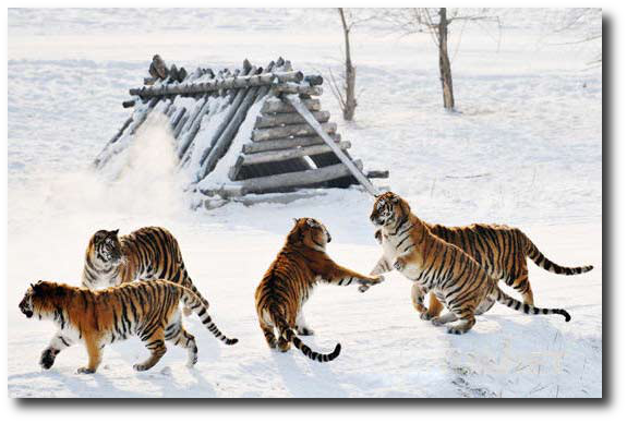 """Google Translate says these Siberian tigers in a Chinese zoo are """"dissipat[ing] into the atmosphere.""""  The original caption probably says something different, but isn't it good to know that Amur tigers won't vanish completely any time soon!"""