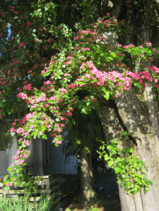 Rose tree and house