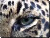 amur leopard small
