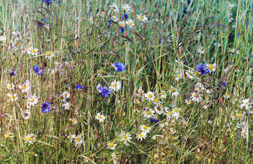 Cornflowers and rye