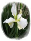 Iris SMALL